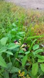 Macroptilium lathyroides fotografia stock