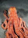 macropus章鱼 库存图片
