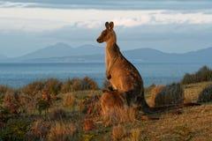 Macropus giganteus - Ost-Grey Kangaroo in Tasmanien in Australien, Maria Island, Tasmanien, stehend auf der Wiese am Abend lizenzfreie stockfotos