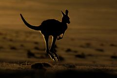 Macropus giganteus - Wschodni Popielaty kangur fotografia stock