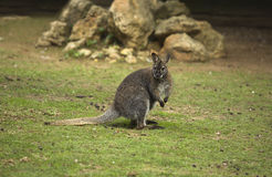 Macropus rufogriseus Stock Photos
