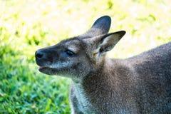Macropus Rufogriseus, czerwony necked wallaby, Parc Phoenix, Ładny, Fr obraz stock