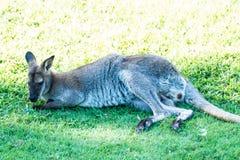 Macropus Rufogriseus, czerwony necked wallaby, Parc Phoenix, Ładny, Fr fotografia stock