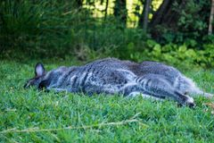 Macropus Rufogriseus, czerwony necked wallaby, Parc Phoenix, Ładny, Fr obrazy stock