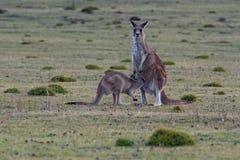 Macropusgiganteus - östligt Grey Kangaroo ungt barnförsök att få tillbaka till kängurupåsen Royaltyfria Foton
