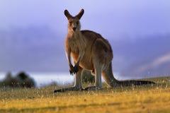 Macropusgiganteus - Oostelijk Grey Kangaroo stock foto