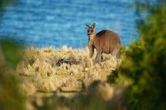 Macropusgiganteus - Oostelijk Grey Kangaroo in Tasmanige in Australië stock foto