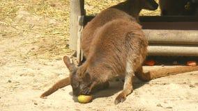Macropusrufogriseus, ualabà DE Bennet, wallaby Met rode hals (4K) stock video