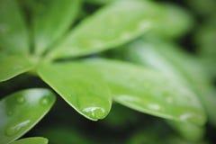 Macroregendruppels op groene bladeren in regenachtig seizoen Royalty-vrije Stock Afbeelding