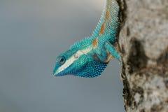 Macroschot van blauw-Gecreeerde hagedis en zijn keel Royalty-vrije Stock Foto