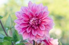 Macroschot van de dahlia het kleurrijke bloem Royalty-vrije Stock Foto's
