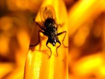 Macroschot van een vlieg bij een gele bloem Stock Fotografie