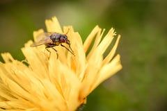 Macroschot van een vliegzitting op een gele bloem, de zomer in openlucht Royalty-vrije Stock Foto's