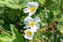 Macroschot van een witte bloem op een natuurlijke achtergrond in een zachte nadruk royalty-vrije stock foto