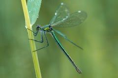 Macroschot van Gestreepte demoiselle Calopteryx splendens op het gras in de aardhabitat stock foto