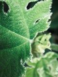 Macroschot van groene bladeren met witte haren royalty-vrije stock foto