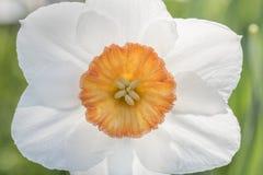 Macroschot van mooie Gele narcisbloem op vage achtergrond Royalty-vrije Stock Foto