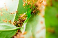 Macroschot van rode mier in aard met selectieve nadruk stock foto's