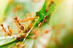 Macroschot van rode mier in aard met selectieve nadruk royalty-vrije stock afbeeldingen