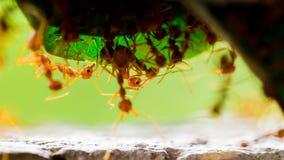 Macroschot van rode mier in aard met selectieve nadruk stock afbeeldingen