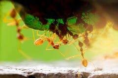 Macroschot van rode mier in aard met selectieve nadruk royalty-vrije stock foto's