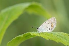 Macroschot van vlinder van kort-De steel verwijderde Blauwe Cupido argiades op het gras royalty-vrije stock afbeelding