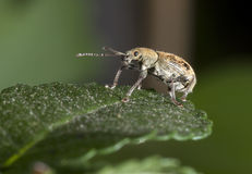 Macroshooting of the bug sitting on a leaf Royalty Free Stock Images