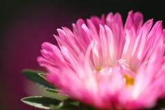 Macroshot для розовой маргаритки стоковое изображение
