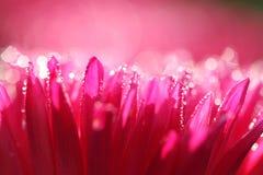 Macroshot для розовой маргаритки стоковые фотографии rf