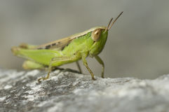 Macroshot of a big green grasshopper sitting Royalty Free Stock Photo