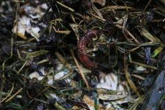 Macroshot dei lombrici in eisenia fetida del suolo immagini stock libere da diritti