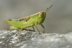 Macroshot di grande seduta verde della cavalletta Fotografia Stock Libera da Diritti