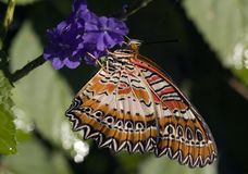 Macroshot of a Lacewing Butterfly Stock Photography
