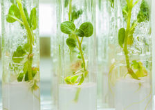 Macroshot view on plants of potato Royalty Free Stock Images