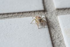Macrospin Salticidae stock foto's