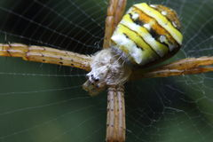 Macrospinspinneweb stock foto
