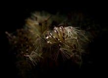Macrostrobloem met stuifmeel Stock Foto's