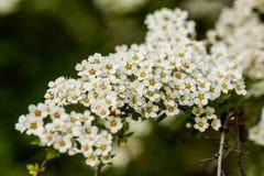 Macrostruik van kleine witte bloemen op een tak Stock Foto's
