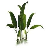 Macrotaeniopteris magnifolia Plant Royalty Free Stock Photo