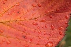 Macrotextuur als achtergrond van de dalingen van het regenwater op het blad van de de herfstkers Stock Afbeelding