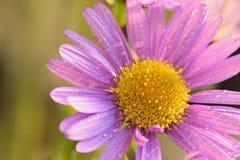 Macrotextuur van trillende purpere gekleurde Daisy bloem met waterdruppeltjes Stock Afbeeldingen