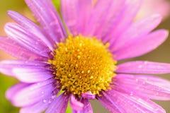 Macrotextuur van trillende purpere gekleurde Daisy bloem met waterdruppeltjes Royalty-vrije Stock Afbeeldingen