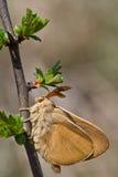 macrothylacia rubi 免版税库存图片