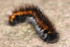 Macrothylacia rubi Fotografia Royalty Free