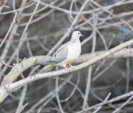 Macroura de deuil camouflé de Zenaida de colombe images libres de droits
