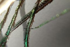 Macroview van pauwveer stock afbeeldingen
