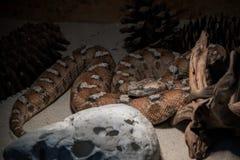 Macrovipera lebetina -在玻璃容器的有毒蛇蝎种类 免版税库存图片