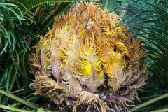 Macrozamia miquelii Immergrüne Palme des subtropischen Cycad mögen Anlage mit roten Kegeln Lizenzfreies Stockfoto