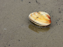 Mactra Stultorum Seashell on Seashore Royalty Free Stock Photography
