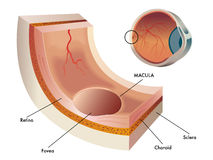 Macula. Medical illustration of the macula, the central part of the retina in the human eye Stock Photos